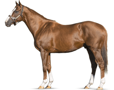 CALIFORNIA CHROME - Most Accomplished Horse from the A.P. Indy Sire Line